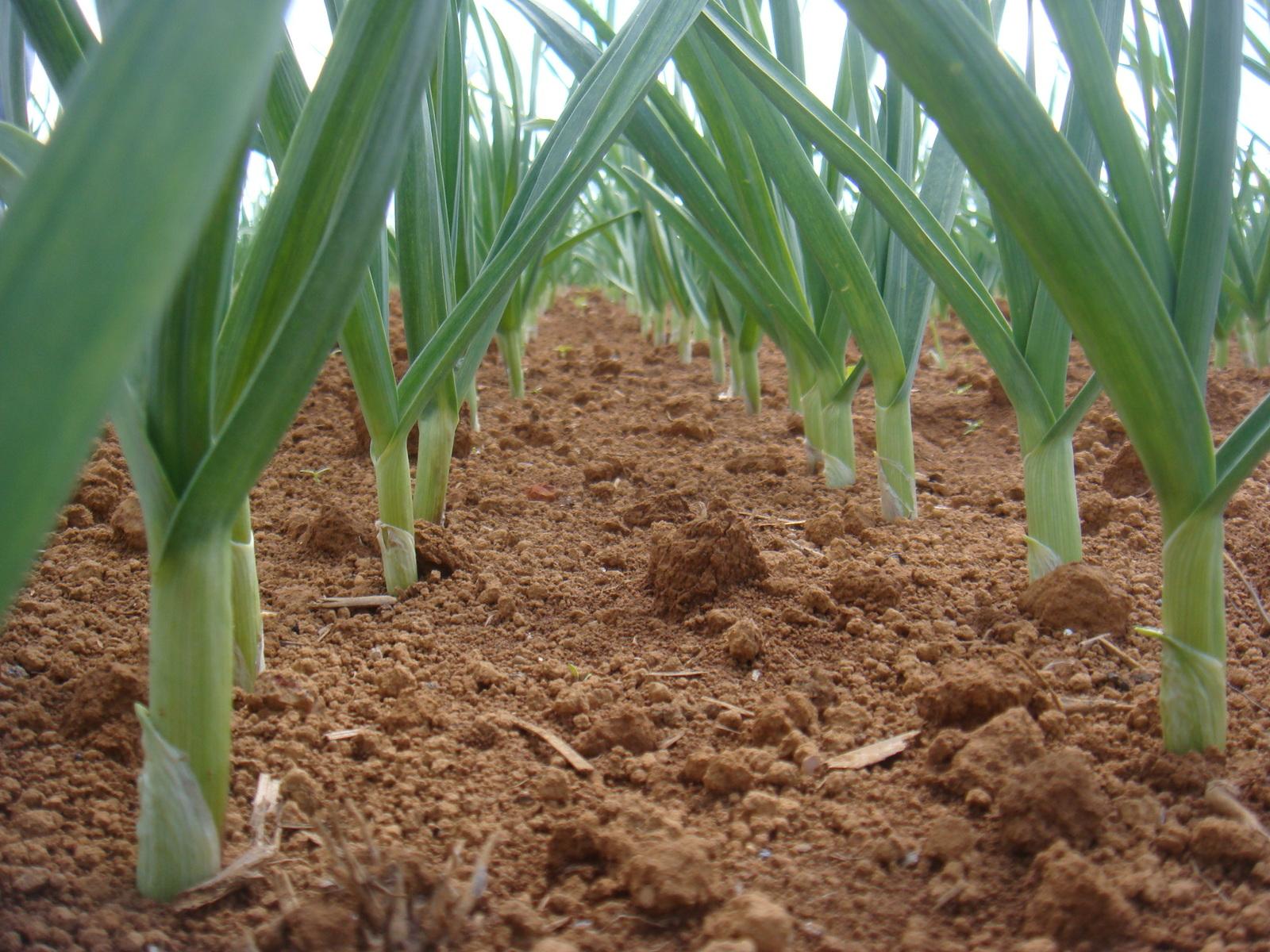La societe erme m canisation de la culture de l 39 ail - Recolte de l ail ...